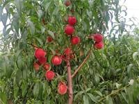 油蟠5桃树苗苗真价实 春丽桃树种苗新品种