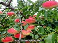 黄桃桃树苗基地惠农 嫁接血桃苗成熟期