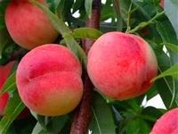 黄金密4号桃树种苗厂家直销 中熟川中岛桃树种苗效益