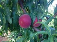 秋彤桃树种苗品质鉴赏