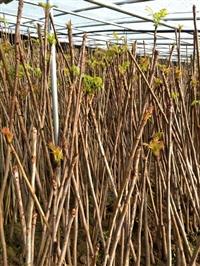 大棚红油香椿苗大量供应