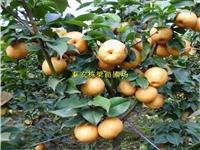 黄冠梨树苗优势突出