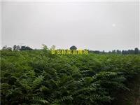 香椿苗一棵多少钱 香椿苗批发基地