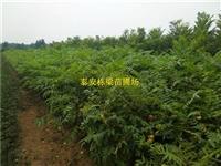 矮化香椿苗基地 香椿苗品种纯正