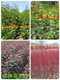 紅瑞木小苗,紅瑞木種子遼寧省