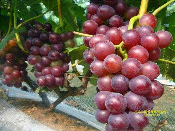 红提葡萄种苗销售基地 红提葡萄种苗价格