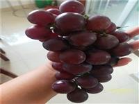 葡萄树苗种植户 葡萄树苗基地