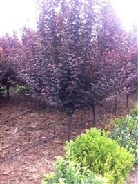 山東紫葉李價格 專業紫葉李種植基地