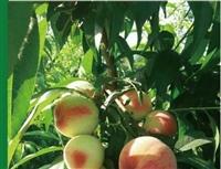 早熟桃,早熟桃树苗,优质早熟桃,早熟桃新品种,特早红脆王