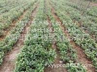 茶苗价格、茶树苗批发、茶叶苗基地厂家供应