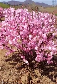 新疆重瓣榆葉梅