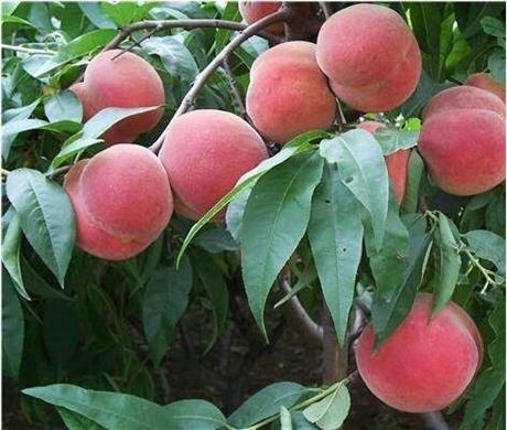 一亩地种植多少桃树苗 桃树苗批发基地