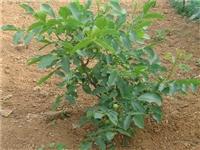 核桃树苗多少钱 粗核桃树苗种植规律