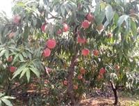 鲁红618桃树苗基地