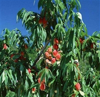 桃树苗晚熟桃品种批发、晚熟桃品种批发桃树苗基地