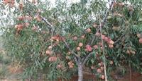桃树苗桃树苗出售,鑫利源农业早中晚熟桃树苗,桃树苗种植要求