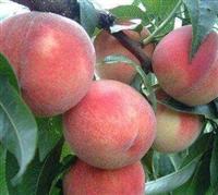 早熟桃树苗 大量供应鲁红618桃树苗  突围桃树苗厂家