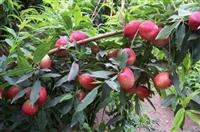 如何种植桃树苗