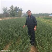 广西枸橘苗种植基地 广西50厘米高枸橘苗价格
