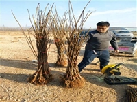 内蒙古无花果苗新品种技术新型种植