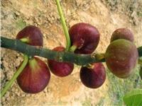 四川布兰瑞克无花果苗图片种植技术