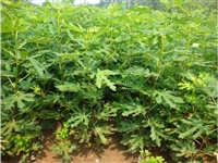海南黄无花果苗种植规律 黄无花果苗供应商