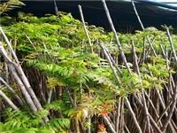 香椿树苗栽培技术 香椿小苗供应商