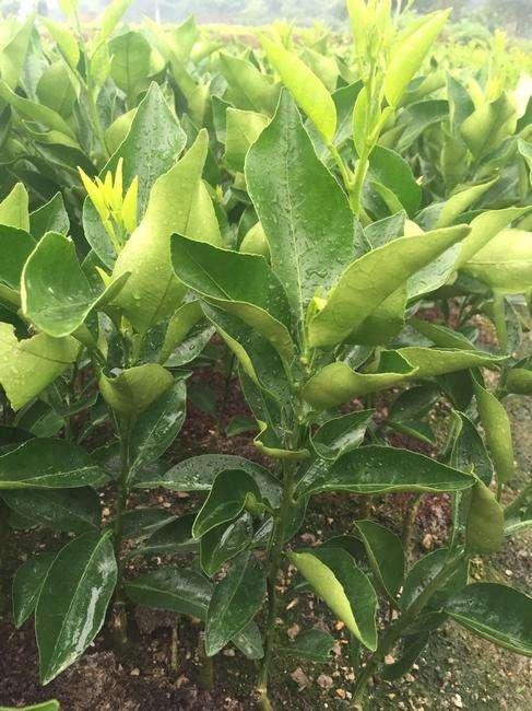 永州柑橘新品种大量上市