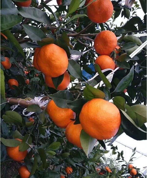 正宗明日见柑橘苗批发价格