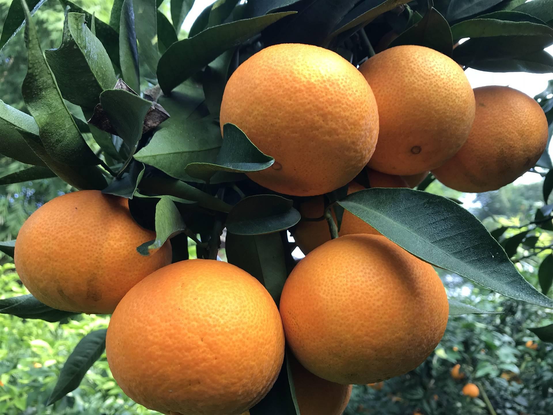 如何挑选明日见柑橘苗