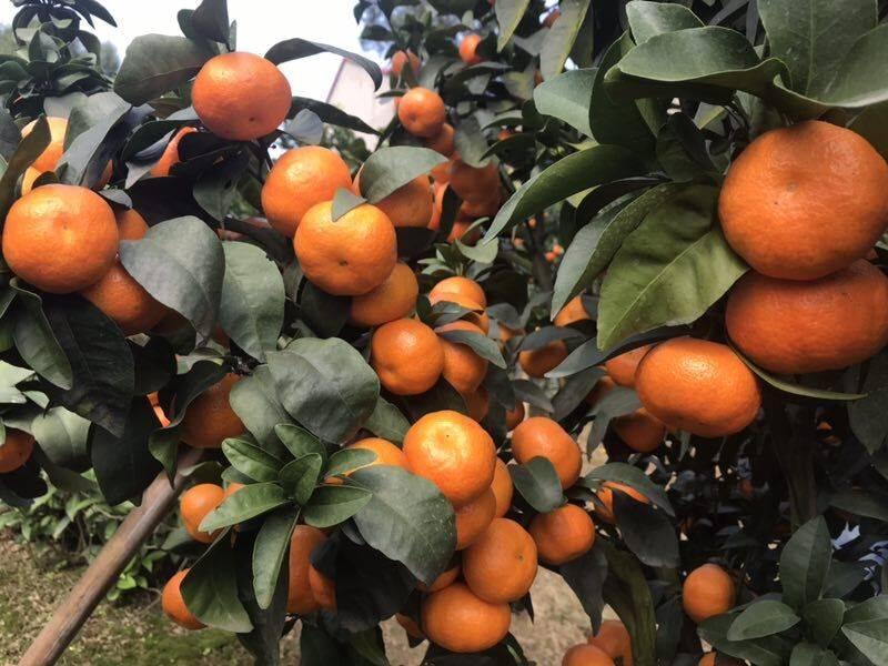 2019正宗柑橘新品种有哪些