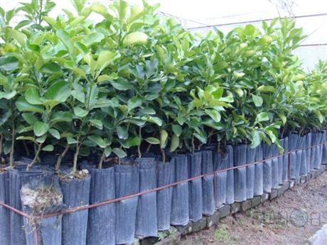 湖南柑橘新品种基地直销