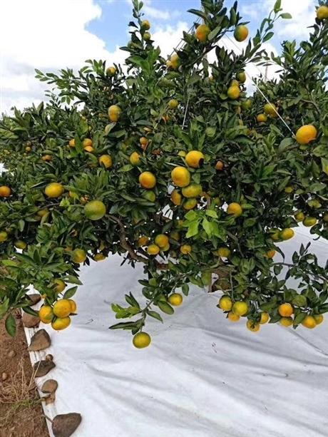 柑橘苗批发哪家便宜