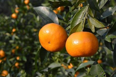 湖南柑橘新品种产地直销