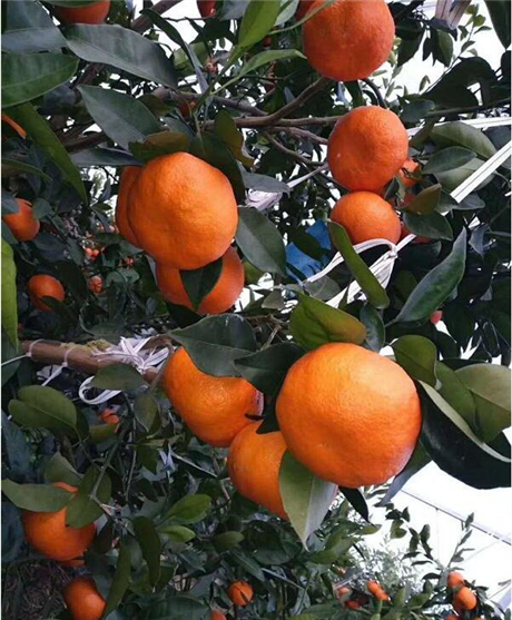 湖南树人供应明日见柑橘