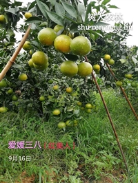 爱媛38红美人新品种价格