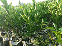 优质供应长沙柑橘苗价格