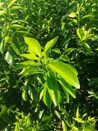 2019供应无核金诺柑橘新品种