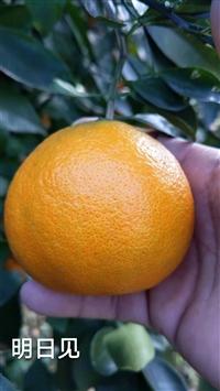 明日见柑橘苗现货出售
