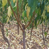 0.8公分福丽桃树苗管理方式/1公分桃树苗品种齐全