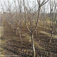 矮化雷尼樱桃树苗种植技术/1公分樱桃树苗信息