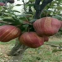 3公分南水梨树苗量大从优/1公分梨树苗品种齐全