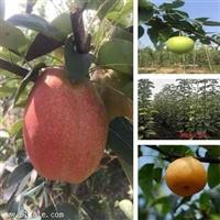 3公分美人酥梨树苗批发/1公分梨树苗品种齐全