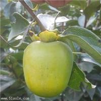 0.8公分盖柿子树苗长期出售/柿子树苗基地出售
