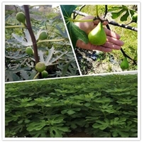 隆化-绿抗一号无花果树苗栽培技术无花果苗培育基地