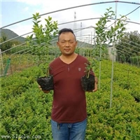 武山-3年生奥尼尔蓝莓苗栽培管理蓝莓苗培育基地