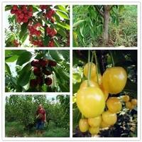 古塔-矮化脱毒樱桃树苗种植株距行距樱桃树苗价格