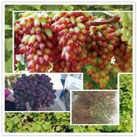 渭城-2年玫瑰香葡萄树苗管理方式葡萄苗行情