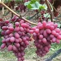桥东-2年贝达砧木葡萄树苗适应性强葡萄苗行情