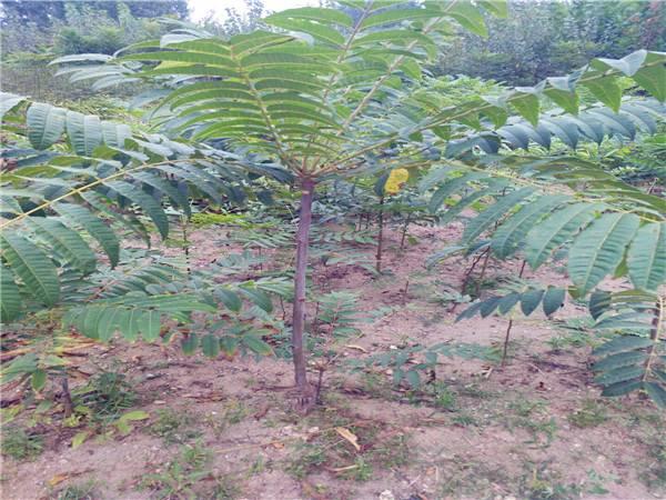 大棚用香椿苗栽培技术